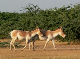 Wild Ass Sanctuary, Surendranagar